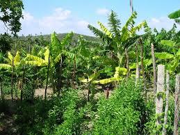 Havana Cuba Sugar Cane Fields