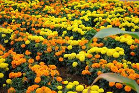 Uesugi Farms Pumpkin Patch by A Rose Is A Rose A Trip To A Pumpkin Patch