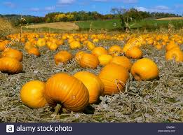 Free Pumpkin Farms In Wisconsin by Agriculture Field Of Mature Pumpkins In Autumn Wisconsin Usa