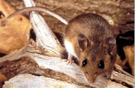 Two Cases Of Hantavirus Reported In King County Since December ... Usda Studying Iowa Rodents For Avian Flu Public Radio Subtle Elegancebarn Owl Canvas Print Art By Catherine Dubuque County Part Of Barn Owl Boom As Orphaned Owlets Find Home J Thaddeus Ozarks Cookie Jars And Other Larks Love These Meeces Deer Mice Mouse Control Rats New York Stock Photos Images Alamy Barn Cat Traing To Hunt Mice Youtube Tyto Alba Family Tytonidae Parent Bird Bring Its Removal Houston Dallas Fworth 911 Wildlife