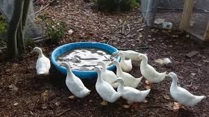 Raising Backyard Ducks | Outdoor Goods Outdoor Play Walmartcom Childrens Wooden Playhouse Steveb Interior How To Make Indoor Kids Playhouses Toysrus Timberlake Backyard Discovery Inspiring Exterior Design For With Two View Contemporary Jen Joes Build Cascade Youtube Amazoncom Summer Cottage All Cedar Wood Home Decoration Raising Ducks Goods