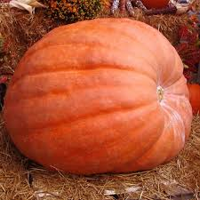 Canby Pumpkin Patch by 100 Best Giant Pumpkins Images On Pinterest Pumpkins Drawing