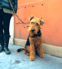 Do Airedale Puppies Shed by Airedale Terrier Rome Italy Airedale Dog Breeds Pinterest