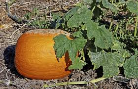 Types Of Pumpkins And Squash by Powdery Mildew In Pumpkins U2013 What To Do For Powdery Mildew On