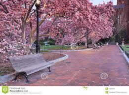 Pink Garden Blooming Magnolia Trees Stock Image Image of