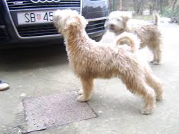 Do Irish Wheaten Terriers Shed by Sara