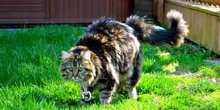 Do Maine Coons Shed Their Mane by Norwegian Forest Cats Aww