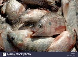 Blue Tilapia Oreochromis Aureus Mojarra O Azul La