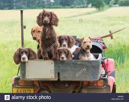 Field Springer Spaniel Shedding by Atv And Dog Stock Photos U0026 Atv And Dog Stock Images Alamy