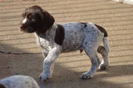 German Wirehaired Pointer Shedding by Pointer Puppies Puppy Dog Gallery