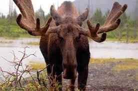 Deer Antler Shedding Cycle by Moose Antlers U2022 How They Grow And What They Tell You