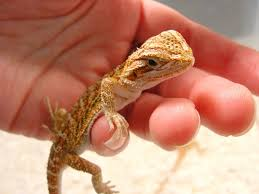 Bearded Dragon Heat Lamp Times by Bearded Dragon Care Essentials Raising Bearded Dragons Ultimate