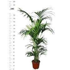 kentia palme 180 190 cm howea forsterian