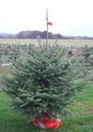 Fraser Christmas Trees Uk by Christmas Trees The Kilted Christmas Tree Company