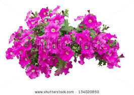 Petunia Flowers Isolated With Clipping Path Included VOL 1