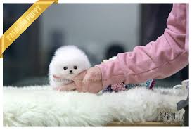 Do Bichon Pomeranians Shed by Rolly Teacup Puppies Rolly Pups Inc