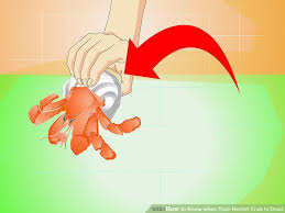 3 ways to know when your hermit crab is dead wikihow