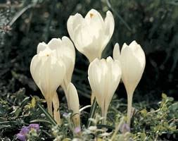 buy autumn crocus bulbs crocus speciosus