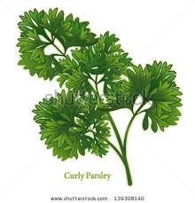 cuisine bouquet garni parsley herb curly leaves used middle เวกเตอร สต อก 139308140