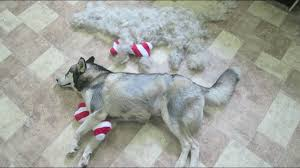 Do All Dogs Shed Their Fur by Deshedding My Husky Time Lapse Kitana How Much Fur Do