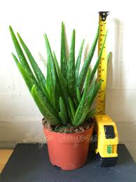 evergreen aloe vera in pot medicinal indoor outdoor house plant