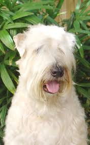 Do Wheaten Terrier Dogs Shed by 115 Best Wheaten Terrier Images On Pinterest Terriers Beautiful