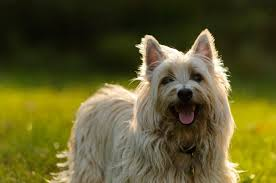 cairn terrier shed hair cairn terrier pets at home