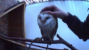 Barn Owl Petting :D! The Way He Loves It! - YouTube Barn Owls On Oak Beam Uk Bird Small Mammal Taxidermist Mike Gadd Owl Family Clipart Night Owl Pencil And In Color Barn Baby By Disneyqueen1 Deviantart All Things Things You Always Wanted To Know About Keeping As Pets Portrait Of A During Falconry Traing Dubai Uae The Centre Staffvolunteers Gallery My Maltese Falcon A Day Falconry Speck The Globe 130109 130110 Wildlife Center Virginia Lydias Video Youtube
