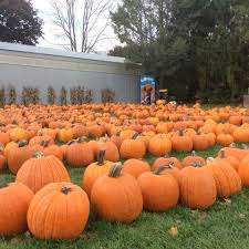 Pumpkin Picking Ridge Ny by Ford Farm Market Home Facebook