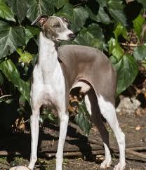 Cane Corso Mastiff Shedding by Italian Greyhound Wikipedia