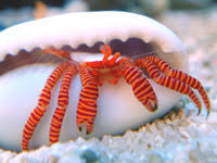 Halloween Hermit Crab Care by Diversity Of Form Beautiful Hermit Crabs