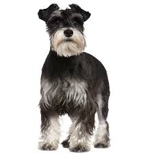 Do Giant Schnauzer Dogs Shed Hair by Miniature Schnauzer Miniature Schnauzer Pet Insurance U0026 Info