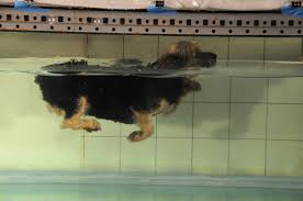 Do Newfoundlands Shed Hair by Newfoundland Dog Swimming Laura Williams