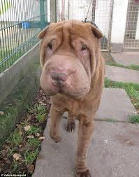 Do Shar Peis Shed A Lot by Dog Lovers Raise 1 500 To Fund A Facelift For An Shar Pei Daily