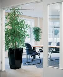 ficus benjamina die birkenfeige als zimmerpflanze oder