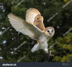 Baby Barn Owl Flight Stock Photo 319464332 - Shutterstock Barn Owl Landing Spread Wings On Stock Photo 240014470 Shutterstock Barn Owl Landing On A Post Royalty Free Image Wikipedia A New Kind Of Pest Control The Green Guide Fence Photo Wp11543 Wp11541 Flight Sequence Getty Images Imageoftheday By Subject Photographs Owls Kaln European Eagle Coming Into Land Pinterest Pictures And Bird
