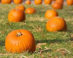 Sand Springs Pumpkin Patch by 36 Best Pumpkin Patches Images On Pinterest Pumpkin Patches