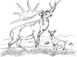 Coloring Pages Of Deer Bucks Doe Buck Snow Page