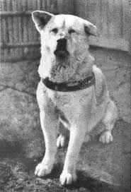 Does Akita Shed A Lot by The Amazing And True Story Of Hachiko The Dog