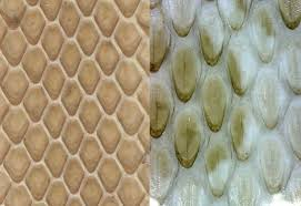 Shed Snake Skin Pictures by Life Is Short But Snakes Are Long Identifying Snake Sheds Part Iii