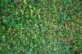 A Seamless Green Wall In The Garden Stock Photo