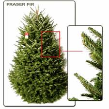 Fraser Christmas Tree Care by Live Fraser Fir Christmas Tree