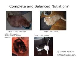fatty liver cats six reasons not to feed cat food of the lintee bean