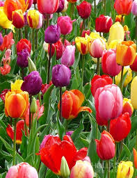wholesale tulips and bulk daffodil bulbs