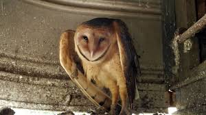 Barn Owls In Kentucky - YouTube How To Build A Barn Owl Nest Modern Farmer 33 Best Rescuing Wildlifemy Workmy Passion Images On Pinterest Boph Project Hampshire Bird Of Prey Hospital Chicks Youtube The Hide Prohides Photography Owls How Feed And Keep An Owlet Maya 20 Fun Facts About Trivia Bride Groom Wedding Cake Topper Paws News Three Beautiful Ashy Faced British Black Does Lookie Communicate With Me Owlhuman Love French Nows The Time Barn Owl Box Maintenance Lodi Growers