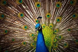 Blue And Green Peacock Painting HD Wallpaper