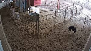 Calving Barn 20170125 081046 - YouTube Around The Farm Scissors Creek Cattle Company The Beutler Family Bench Design Hay Barn Plans Shed Heifer Development Way View Onduty Horse Csavvycom We Know Working Horses Katefairlie Kate Fairlie Kims County Line Cribs Aka Sheds Enduragate Setup Demstration For Calving Youtube Portable Calving Beef Facilities Pinterest Barn 332014 Calving2014 January 2014 Life On A Bc Ranch Slate Architecture Boots Heels Renovated Area