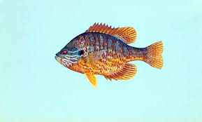 Pumpkin Seed Sunfish Pictures by Free Picture Pumpkinseed Fish Lepomis Gibbosus