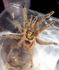 Pumpkin Patch Tarantula For Sale by Neoholothele Incei Formerly Holothele Trinidad Olive Gold Form