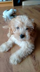 Cavapoos Do They Shed by 274 Best Puppies Images On Pinterest Puppies Puppy Love And